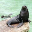 Stock Photo: Brown fur seal