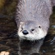 Otter — Stock Photo