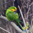 Stock Photo: Adult male of Superb Parrot.