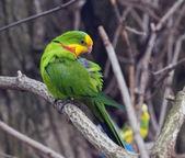 An Adult male of Superb Parrot. — Stock Photo