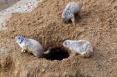 луговые собачки — Стоковое фото