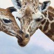 Giraffes — Stock Photo #25026605