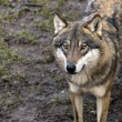 Eurasian wolf — Stock Photo #26889191