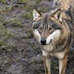 Wolf — Stock Photo #26889191