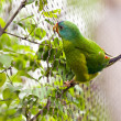 Stock Photo: Swift Parrot
