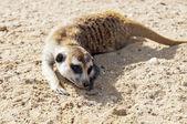 Meerkat or suricate — Stock Photo