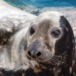 Grey seal — Stock Photo #29125957