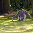 Female red Kangaroo — Stock Photo