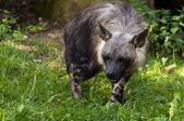 коричневый гиена — Стоковое фото