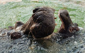 The hippopotamus (Hippopotamus amphibius), or hippo — Stock Photo