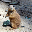 Black-tailed prairie dog — Stock Photo #29439655
