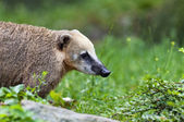 South American coati — Stock Photo