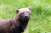 Bush dog — Stock Photo