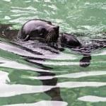 Brown fur seal — Stock Photo