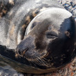 Grey seal — Stock Photo #30868853