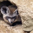 Bat-eared fox — Stock Photo #31618351
