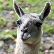 Guanaco — Stock Photo #32022003
