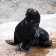 A young brown fur seal — Stock Photo