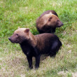 Stock Photo: Bush dogs