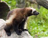 Wolverine — Stock Photo