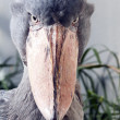 Stock Photo: Shoebill