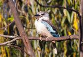 Blåvingad kookaburra — Stockfoto