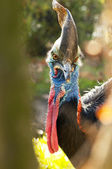Southern Cassowary — Stock Photo