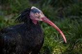 Northern Bald Ibis — Stock Photo