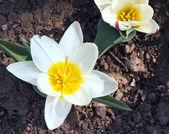 Tulipán — Foto de Stock