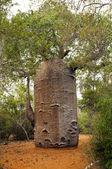 Baobab tree — Stock Photo