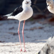 Black-winged stilt — Stock Photo #35423889
