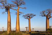 Group of baobab trees — Stock Photo