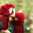 Red-and-green macaw — Stock Photo