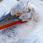 Pelican — Stock Photo #37643837