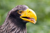 Steller's sea eagle — Foto Stock