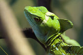 Plumed basilisk — Stock Photo