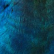 Feathers of a bird (peacock) — Stock Photo