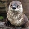 Otter — Stock Photo #38151119