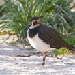 Northern Lapwing — Stock Photo #38151297