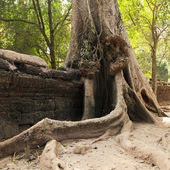 Old wall and tree. Ta Prohm temple, Cambodia — Stock Photo