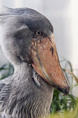 Shoebill  — Stock Photo