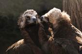 Vulture — ストック写真