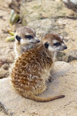 Meerkat or suricate — Stock Photo