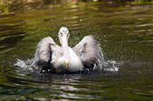 Young pelican — Zdjęcie stockowe