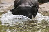 Elephants in the water — 图库照片