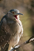 Black-crowned night heron.  (juvenile) — Foto Stock