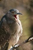Garza negro-coronada. (juvenil) — Foto de Stock