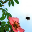 Stock Photo: Bumble bee hovering over a flower