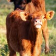 Cow looking at the camera — Stock Photo #12721482