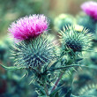 A thistle — Stock Photo